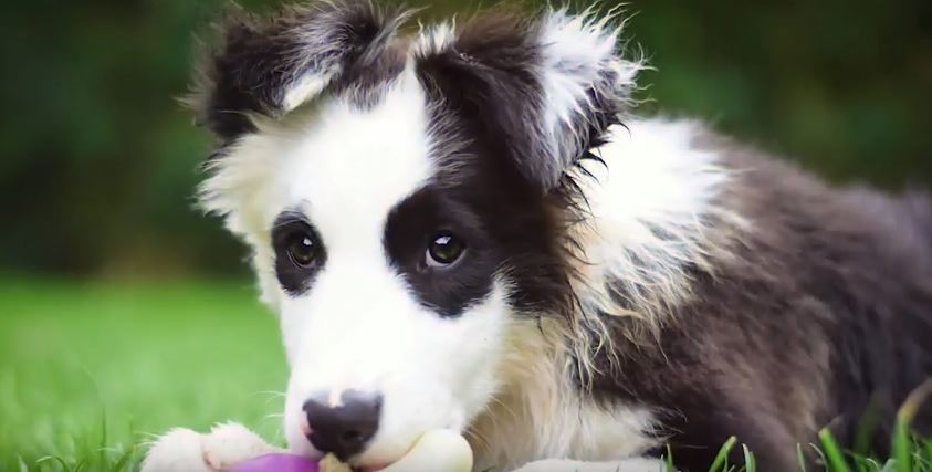 All About Border Collies