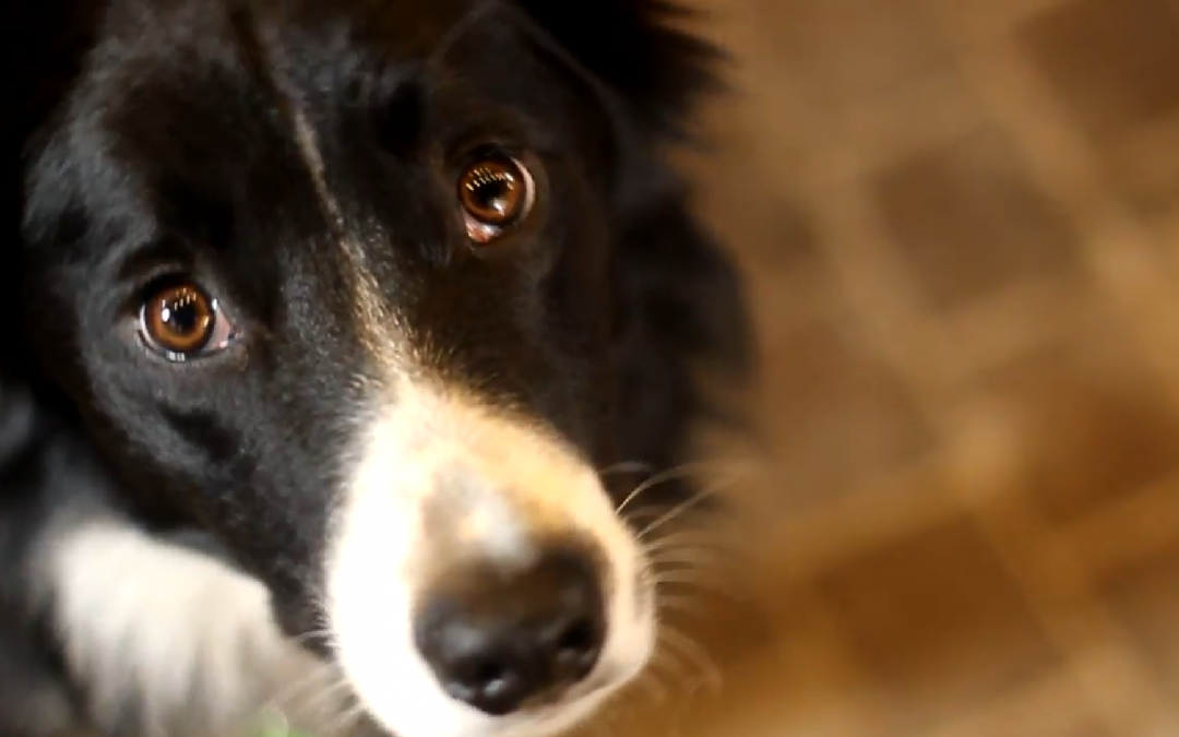 Meet Caddy the Border Collie