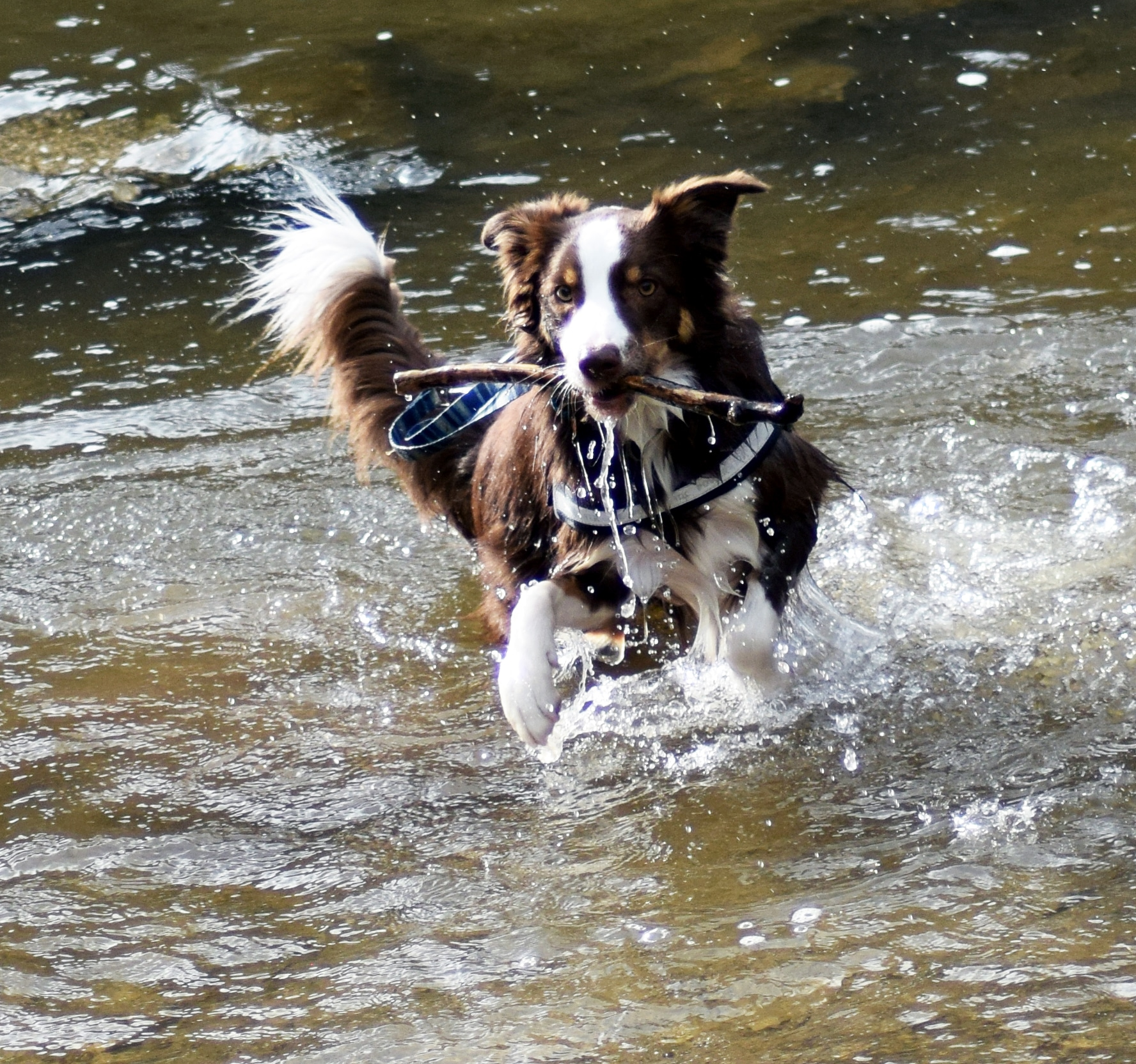 how to become a registered border collie breeder
