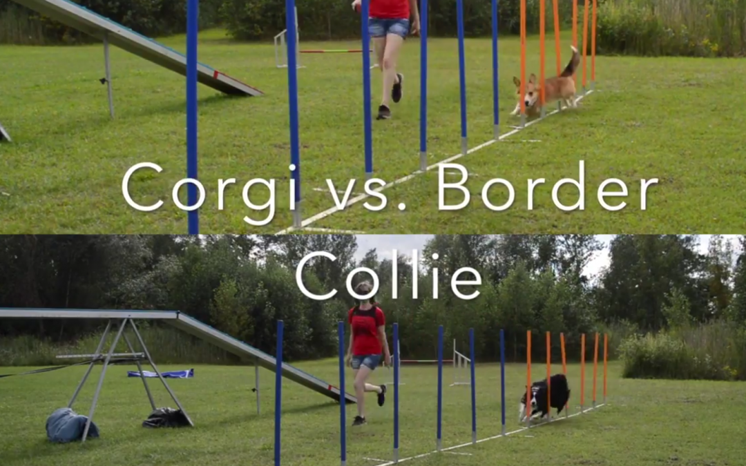Corgi vs. Border Collie Agility Training!  Who's Faster?