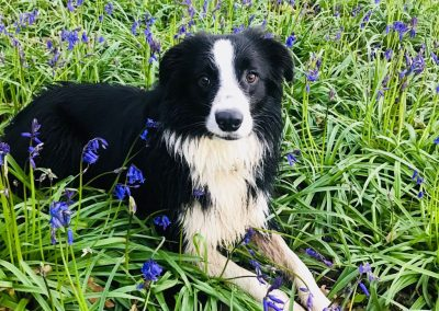 Max the Border Collie