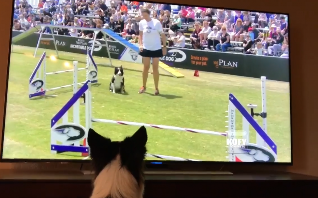 Champion Border Collie Loves Watching Herself on TV