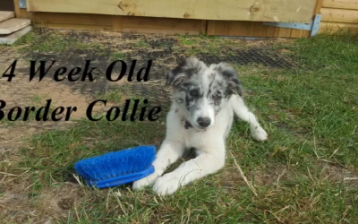 Fun with 14 Week Old Border Collie Puppy Nora