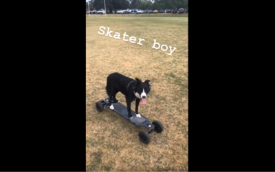 Skateboarding Border Collie