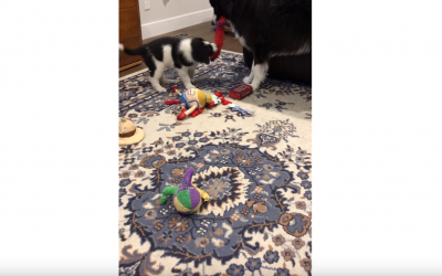 Border Collie Tug-of-War