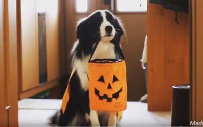 A Border Collie Halloween