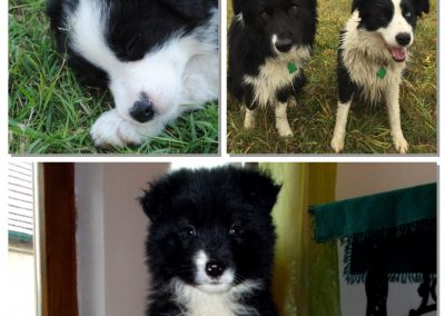 Border Collies from Hungary