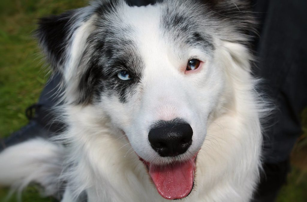 Border Collies with Heterochromia