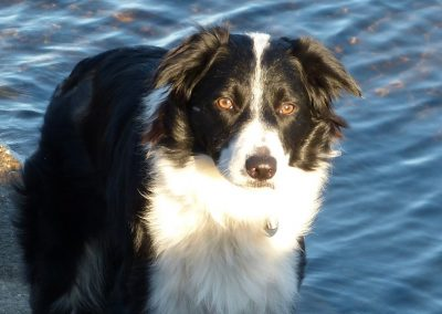 Alfie the Border Collie