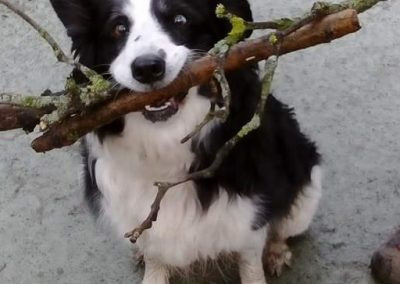 Ellie the Border Collie Loves Collecting Sticks