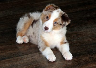tri red merle border collie puppy dog