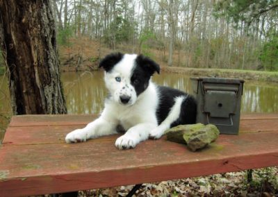 black white border collie puppy