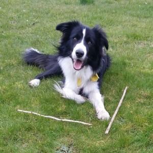 black white border collie dog