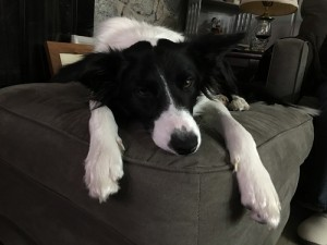 lazy border collie