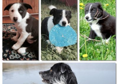 four working border collies