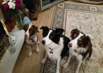 Border Collie family from Elgin, UK