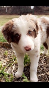 white and brown border collie