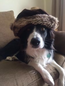 border collie dog wearing hat