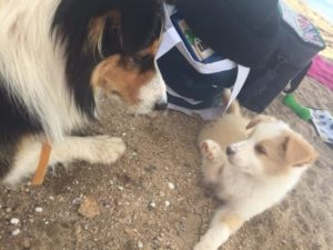 Chief the border collie puppy and friend