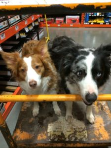 border collie dogs