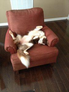 sleeping border collie