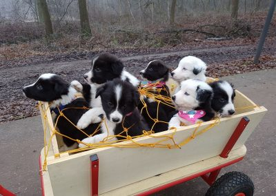 wagon full of border collie puppies