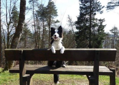 border collie puppy on the bench