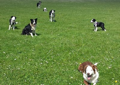 A Family of Border Collies