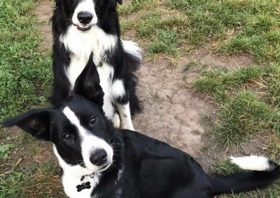 Border Collies in the Yard