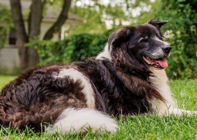 Daisy is a Beautiful Brown and White Border Collie