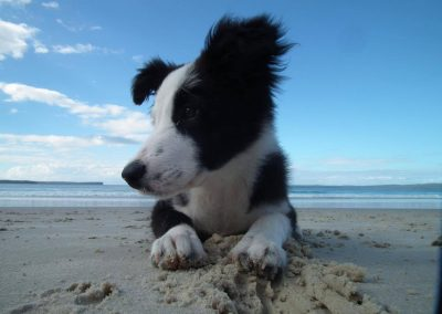 border collie puppy at the beach