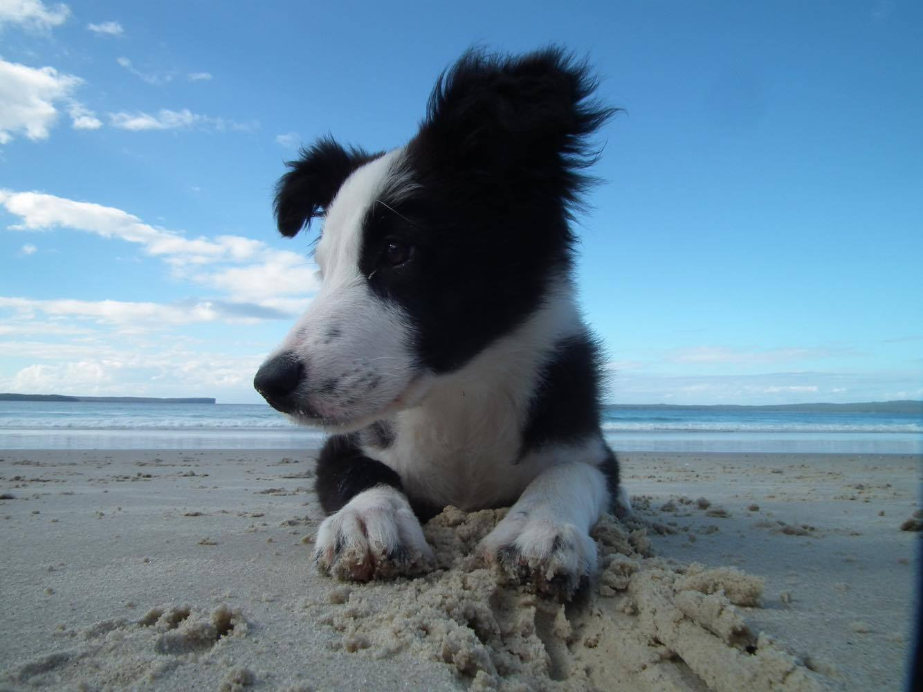 Puppies Gallery | Border Collie Fan Club