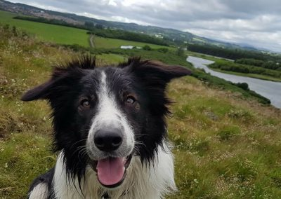one year old border collie puppy