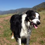 blind border collie