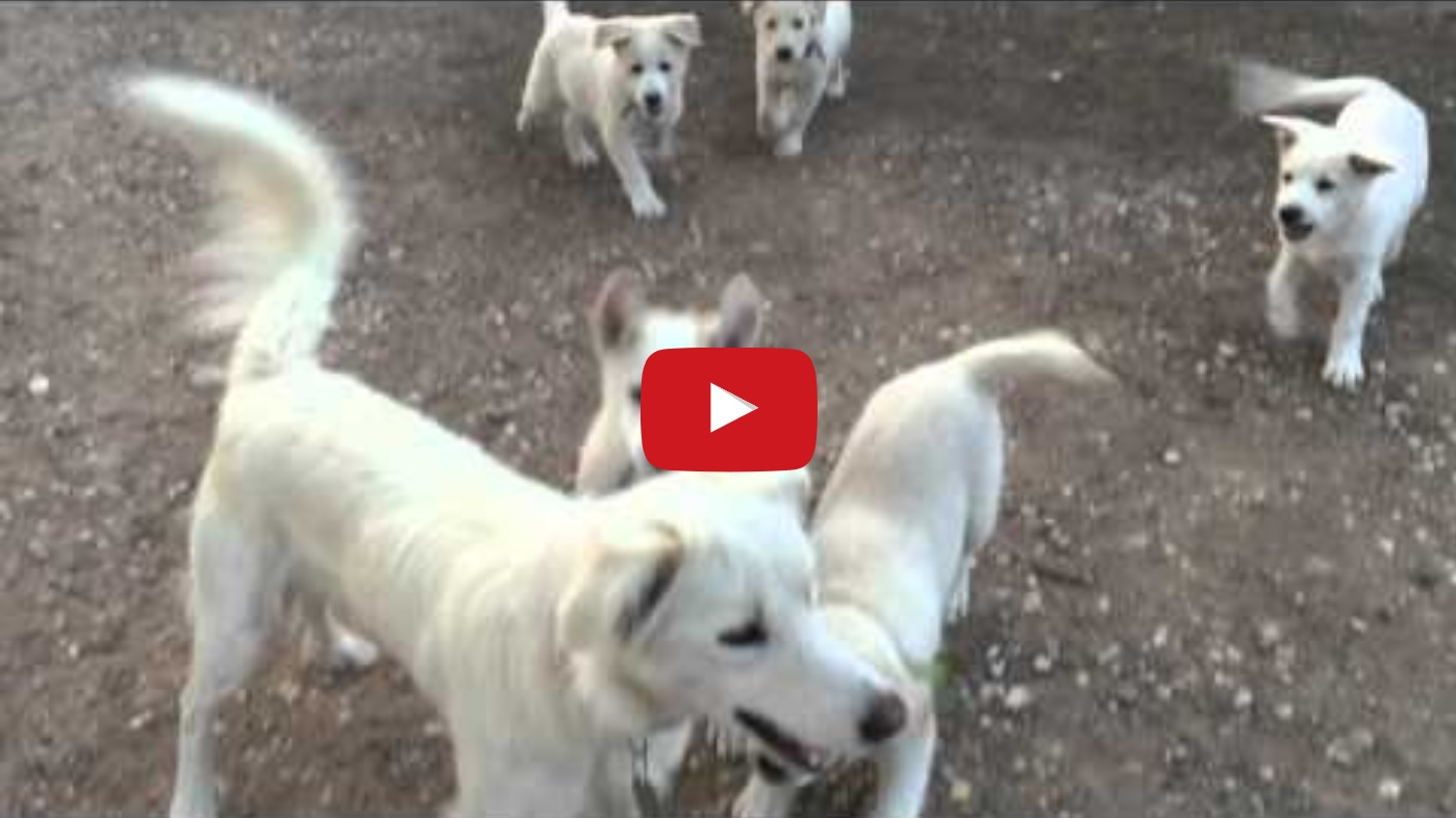 Blonde Border Collie Puppies Playing Border Collie Fan Club