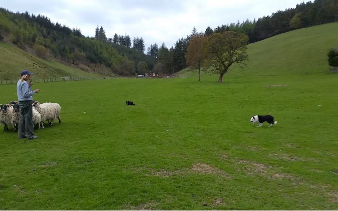 Sheep Herding with Julie Hill and Her Amazing Border Collies