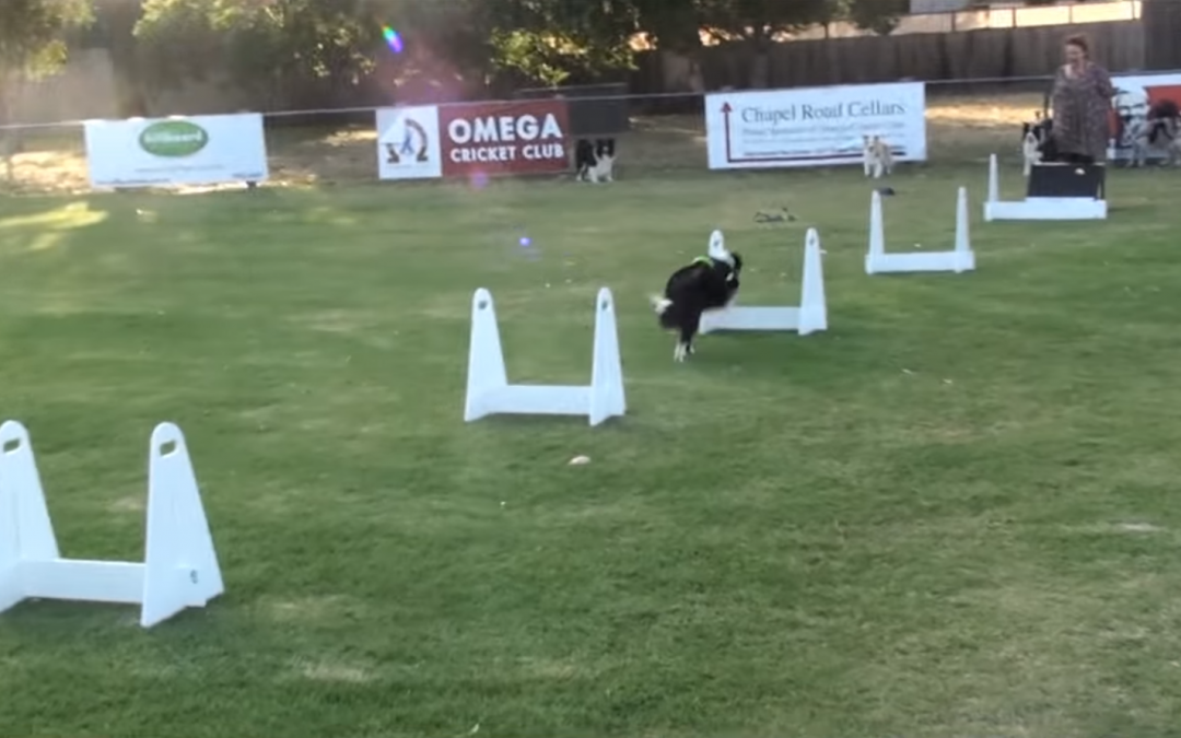 Border Collie Flyball Training with the Moorabbin Flying Paws