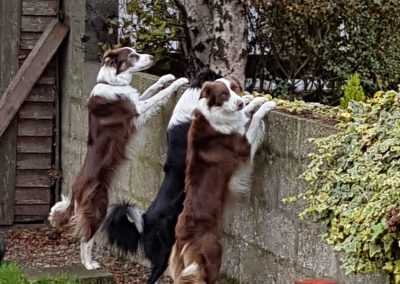 three border collie dogs waiting by a fence