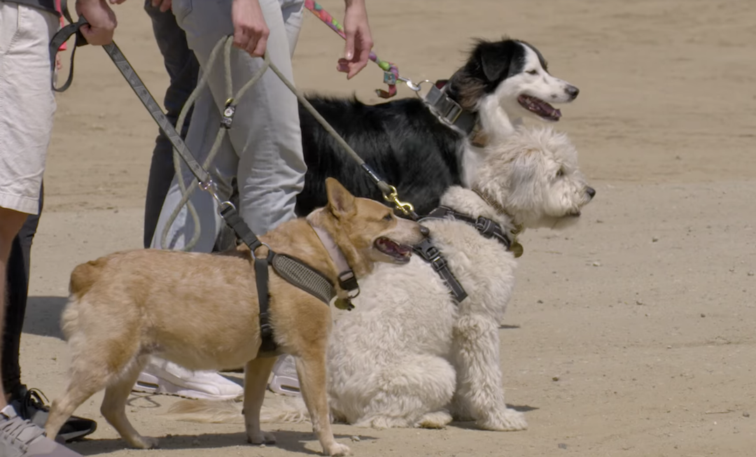 Can City Dogs Herd Sheep Like a Working Border Collie?