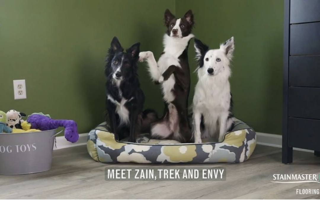 Border Collies Zain, Trek and Envy Star in Stainmaster Commercial