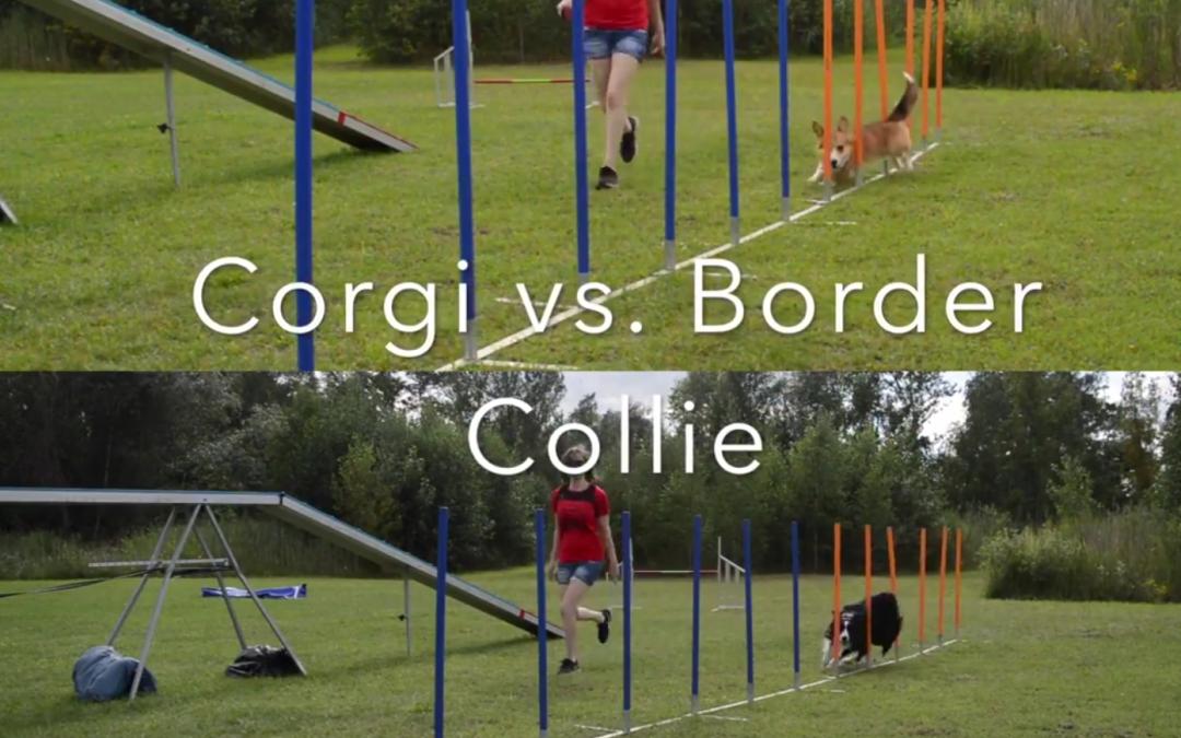 Corgi vs. Border Collie Agility Training!  Who's Faster?