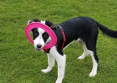 Luna the Border Collie Puppy