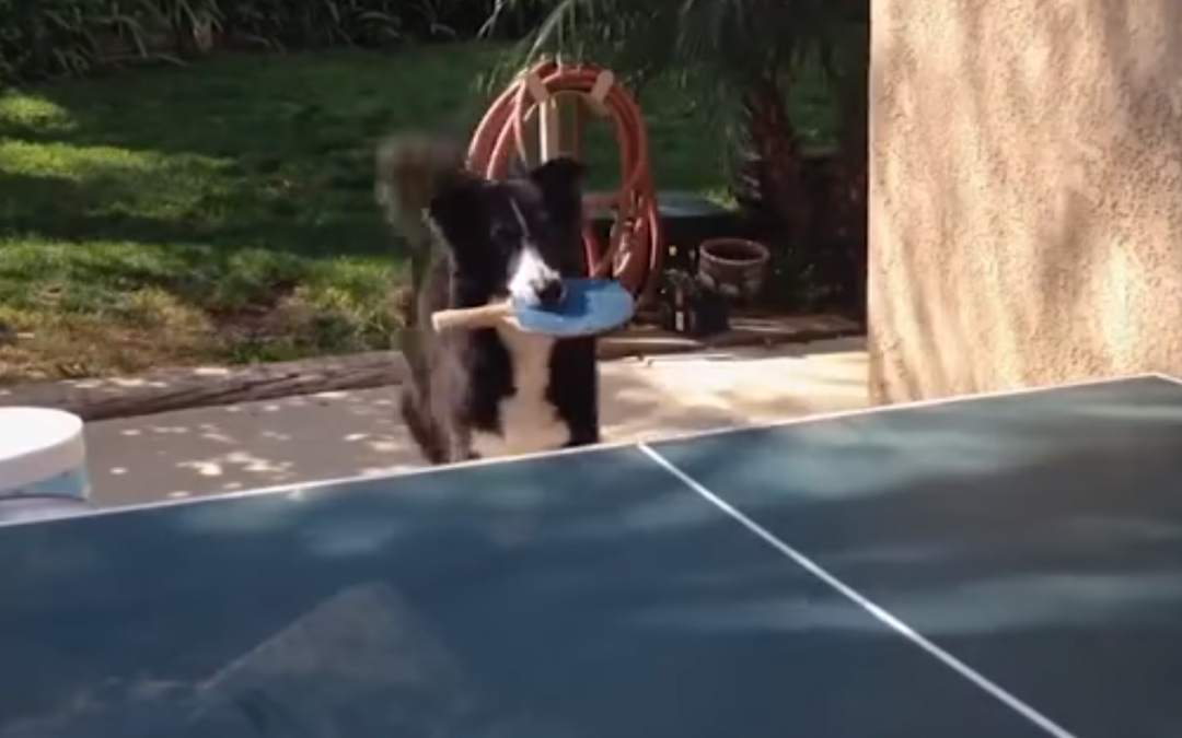 This Border Collie Can Play Ping Pong!