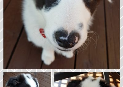 collage border collie puppy