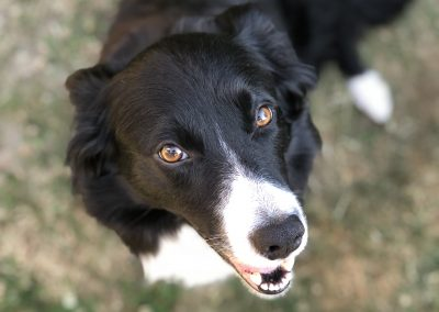 close up of black and white border collie