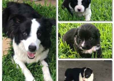 mother border collie and three puppies