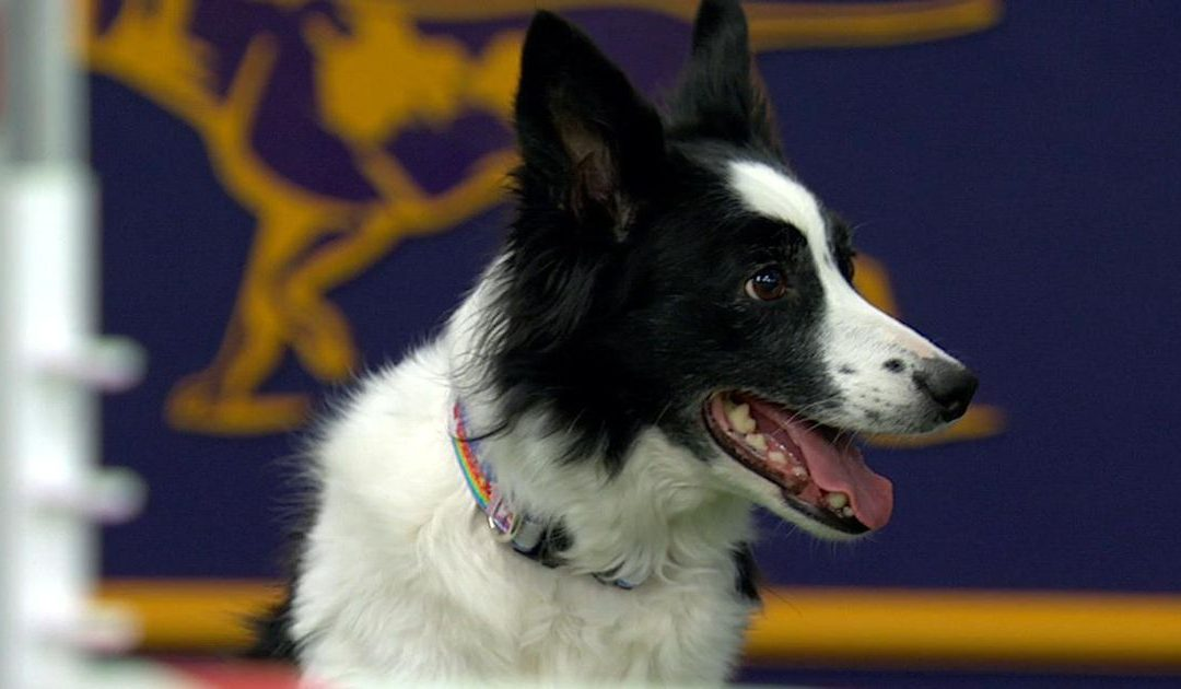 Fame the Border Collie Wins 2018 Masters Agility Championship