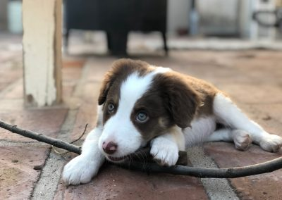 Desert Border Collie Remi