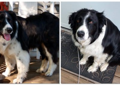 collage of black and white border collie