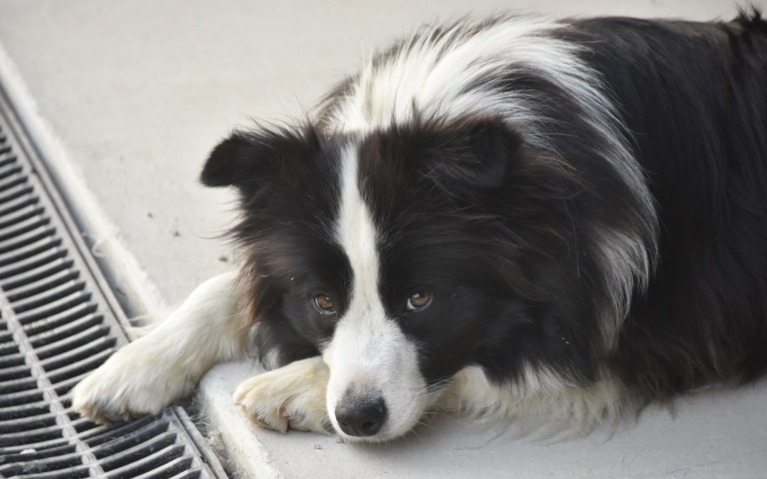 Three Border Collies from Australia